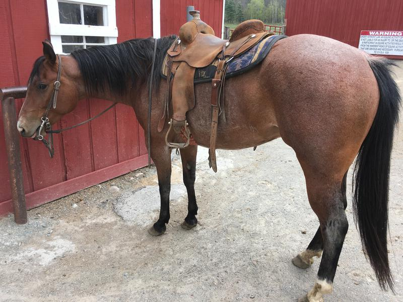 Horses for Sale Vermont, Horses for Sale Northeast, Horses